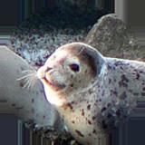 抜海港の野生のアザラシ